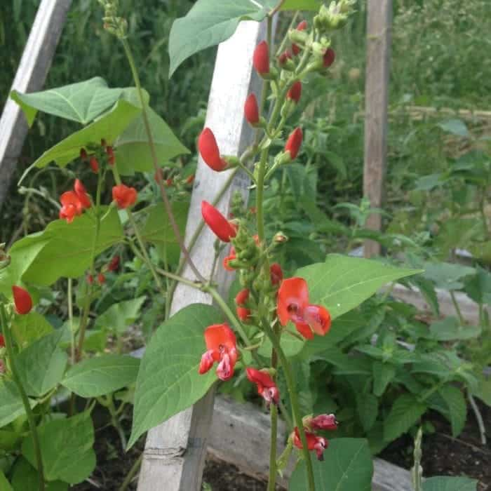 10 Landscape Mistakes To Avoid When Decorating Your Backyard: Garden Trellis Mistakes To Avoid For Climbing Plants
