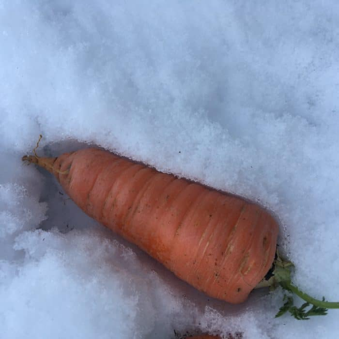 Winter carrots taste sweeter