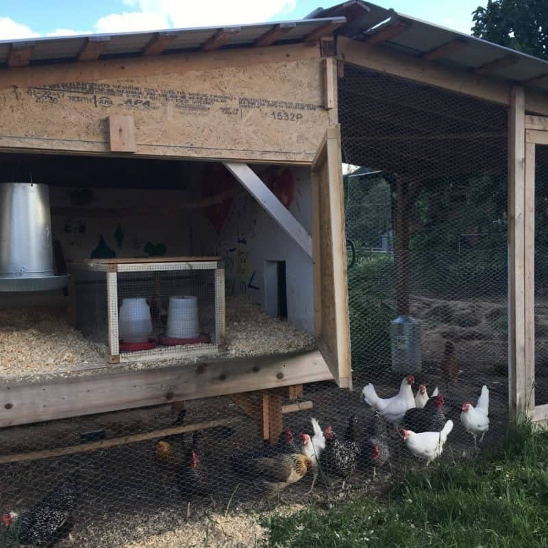 Outdoor chicken brooder to mix the new and old flock