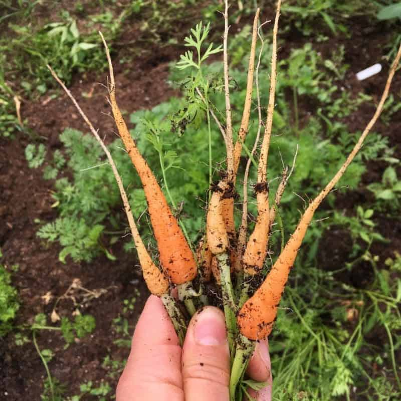 You have to thin out carrots for success, otherwise they don't have the space to grow