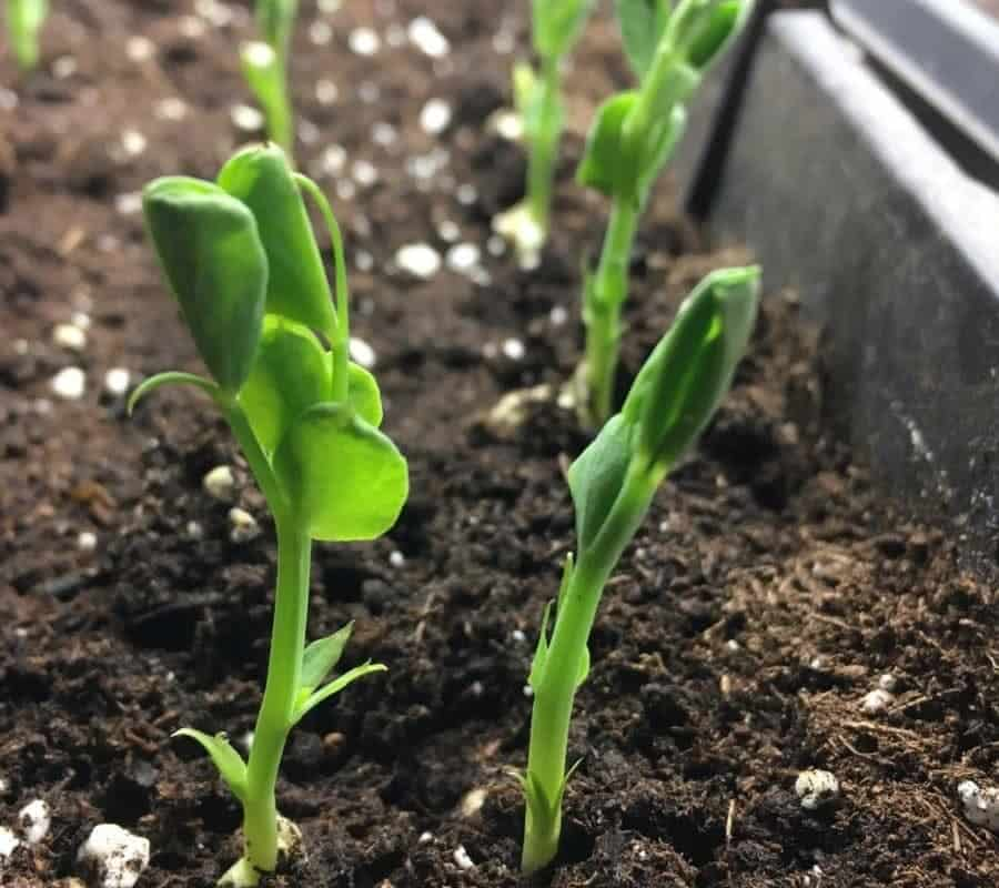 Growing Pea Shoots + Pea Plants for Transplanting