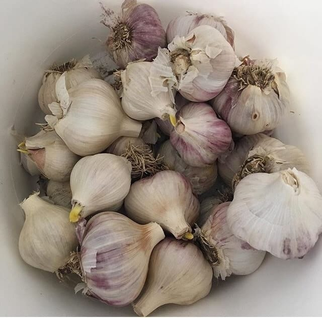 Planting sprouted garlic