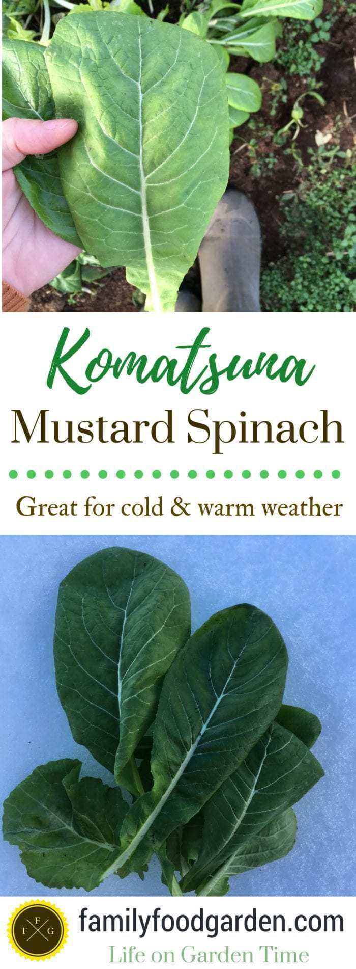 Komatsuna mustard greens is a fantastic green to grow in your garden