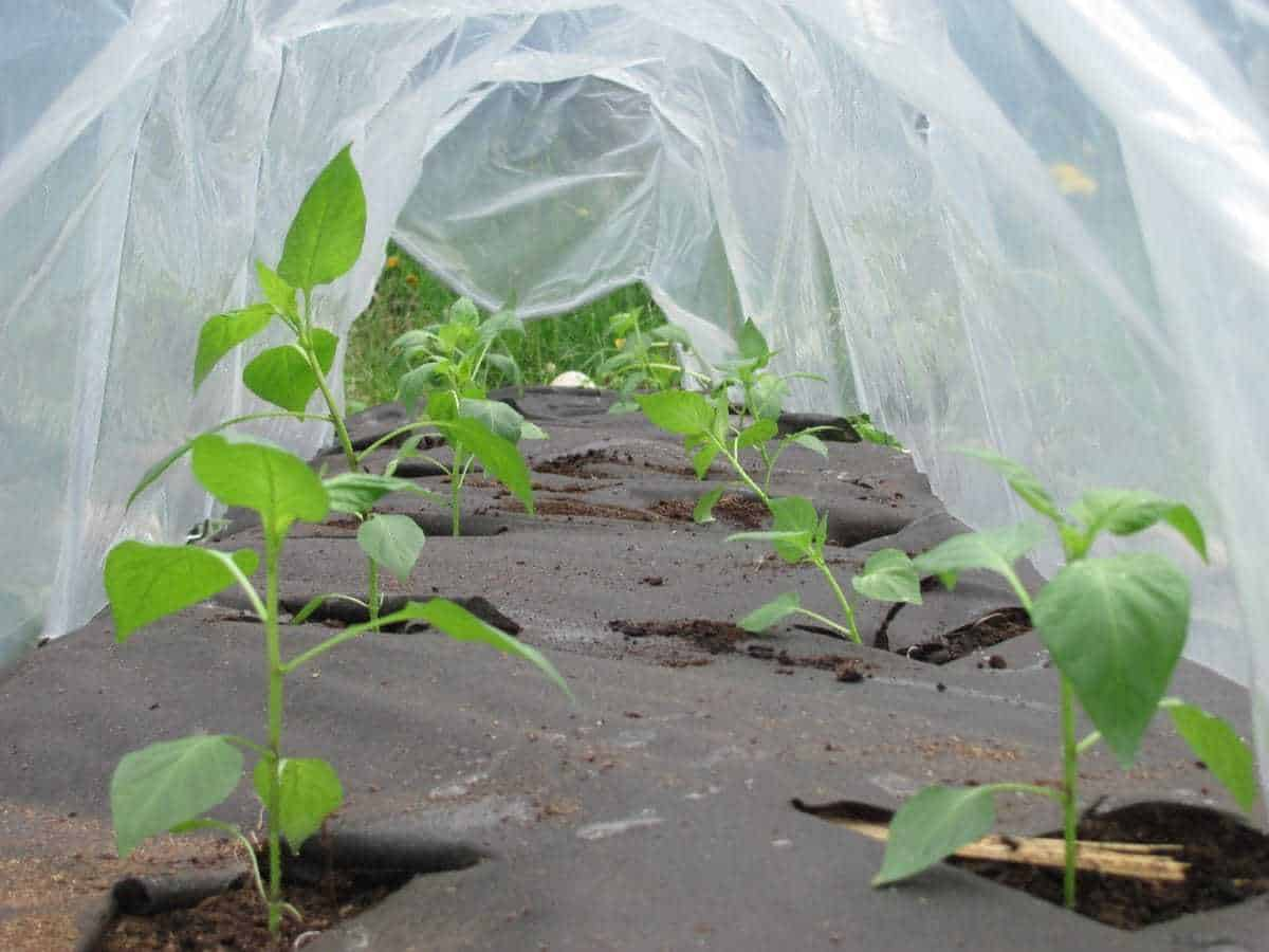 Grow peppers under a hoop tunnel to increase heat early in the summer
