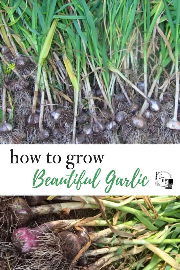 Tips for growing and harvesting your best garlic