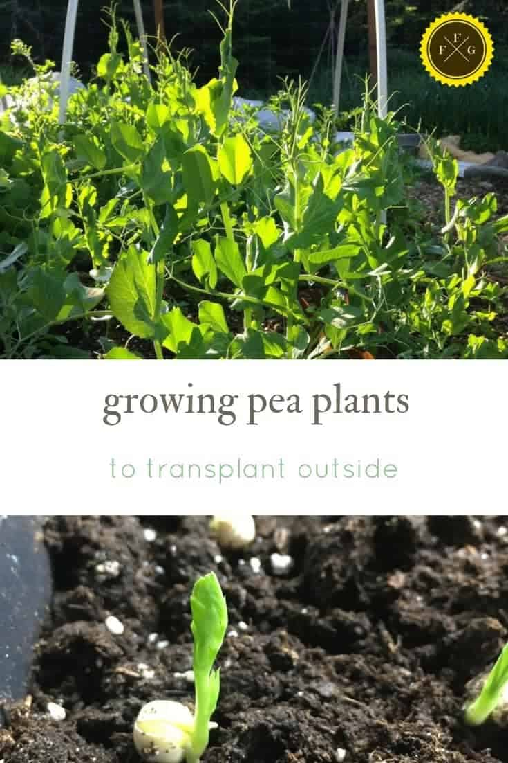 Grow pea plants to stop the birds from stealing your peas!