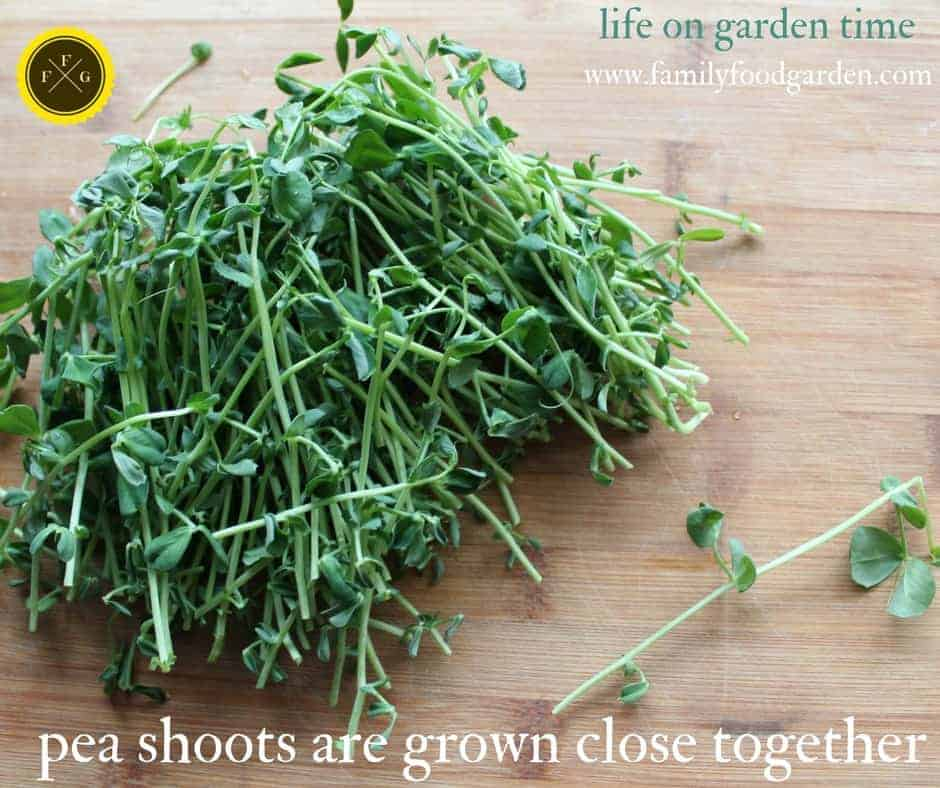 Growing Garden Peas: Growing Pea Shoots Indoors (+ Pea Seedlings)