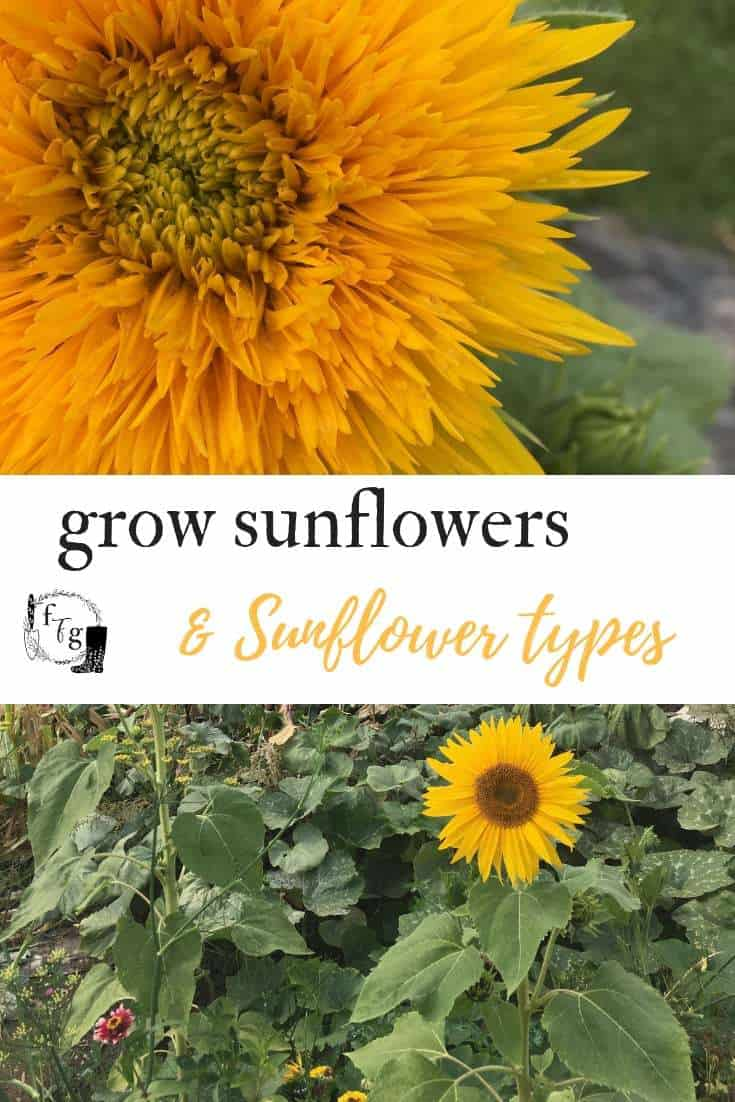 Grow a sunflower fort or teddy fluffy sunflowers
