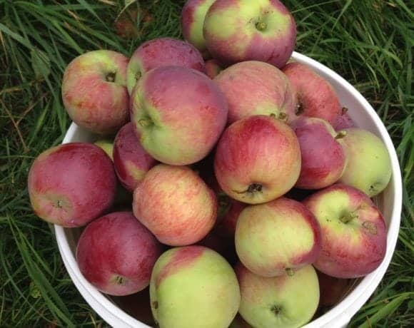 Store apples short-term or long-term for winter apples. Best varieties for storing apples