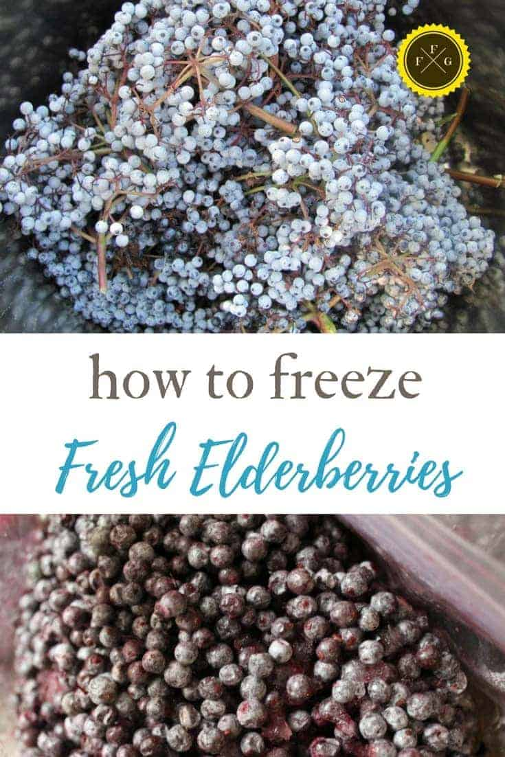 Harvesting & freezing elderberries is a great way to preserve elderberries
