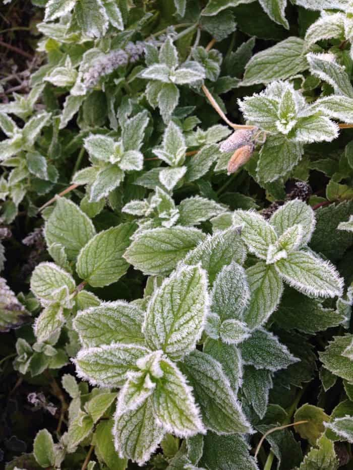 Frosted mint in a winter garden