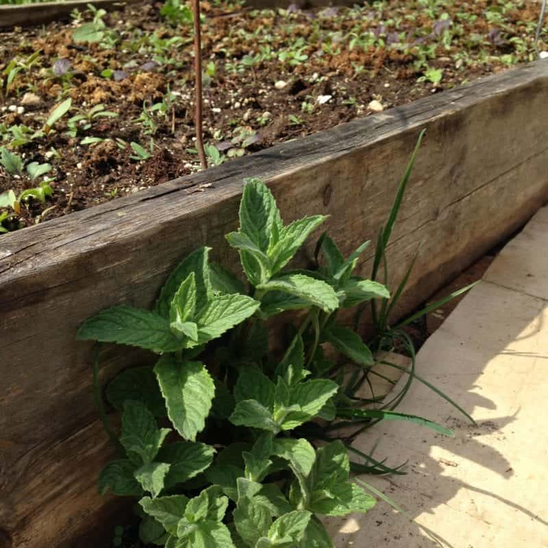 Mint can take over your garden, so be careful where you put it