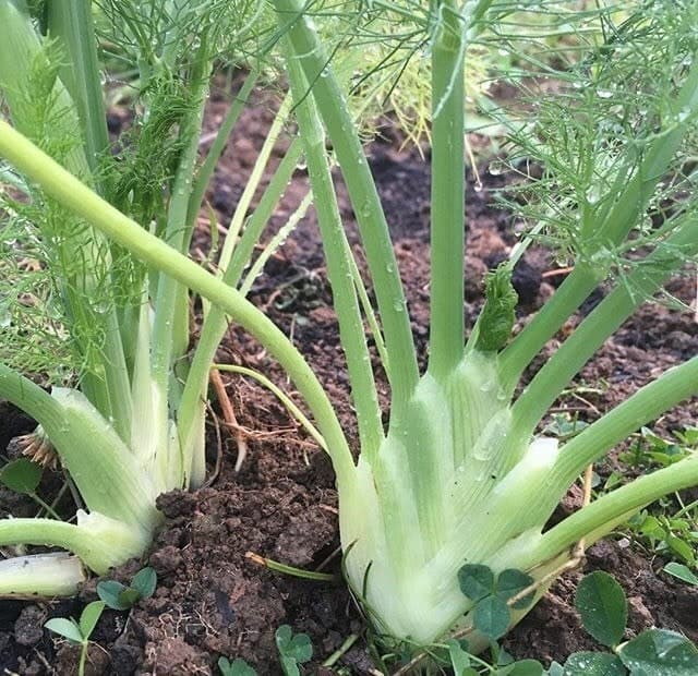 Grow fennel in your summer garden