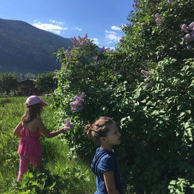 Gathering lilacs from a lilac hedge