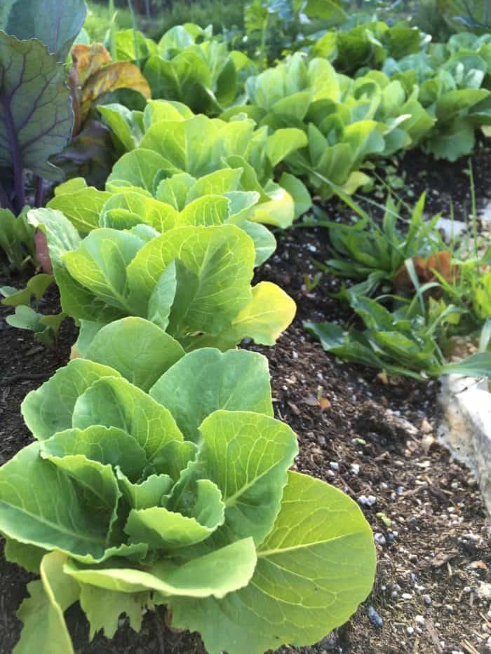 Lettuce growing in a sheet mulched/lasagna garden beds