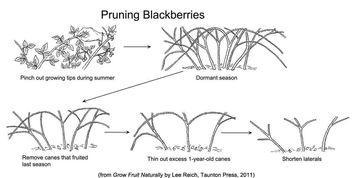Pruning blackberries