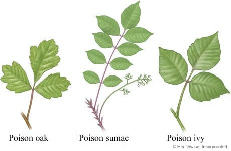 Poisonous plants: Poison Ivy, Oak & Sumac