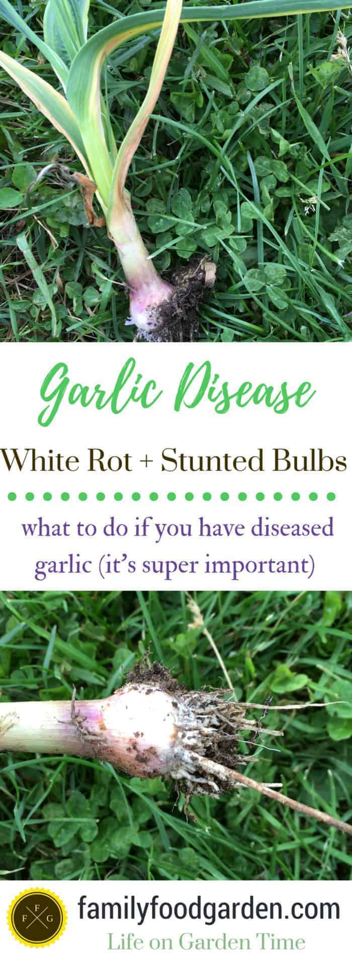 How to tell if you have garlic disease and white rot. DO NOT compost them!