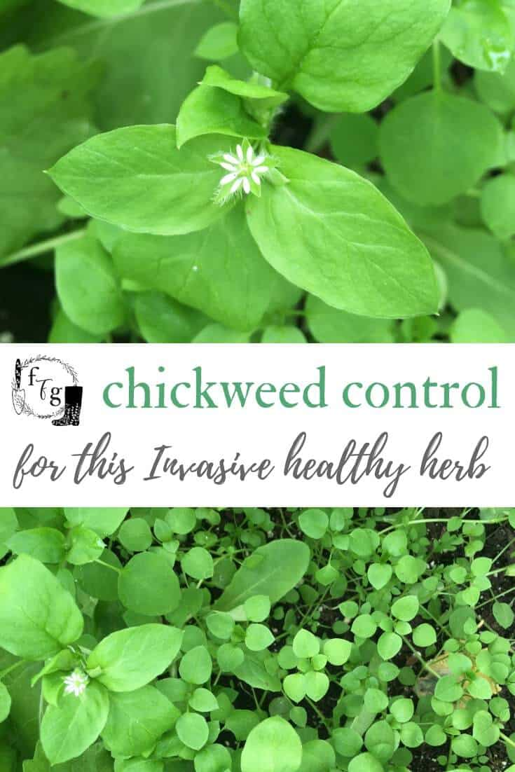 Chickweed control in the garden