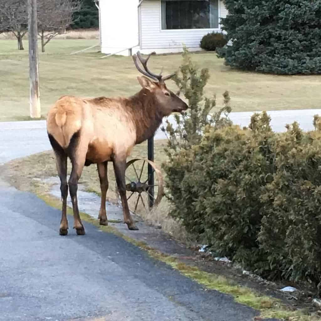 Keeping your homestead safe from large pests such as elk requires fencing