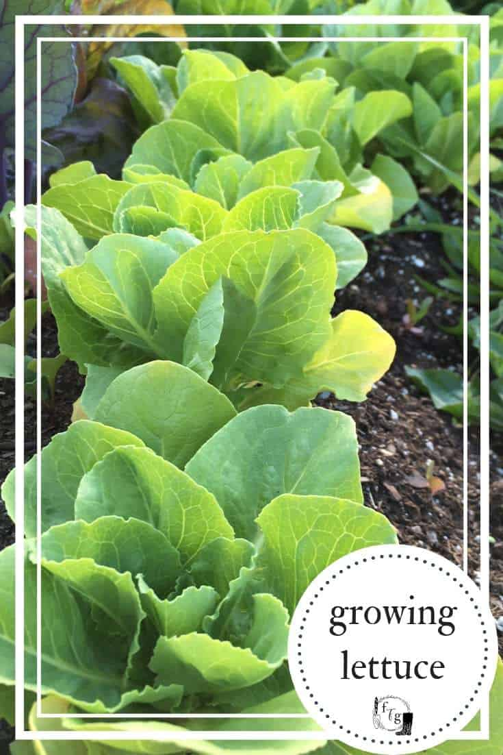 Grow beautiful lettuce at home