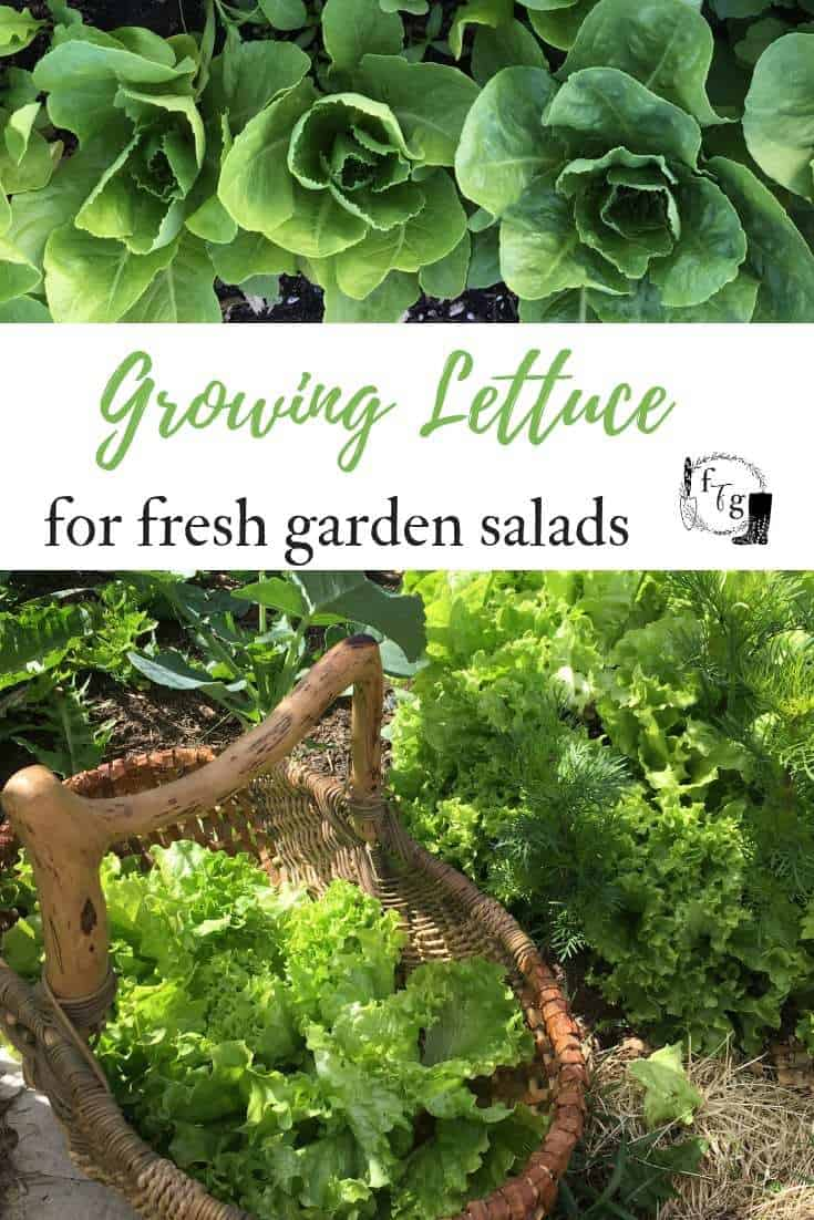 Learn how to grow lettuce and troubleshoot lettuce growing problems