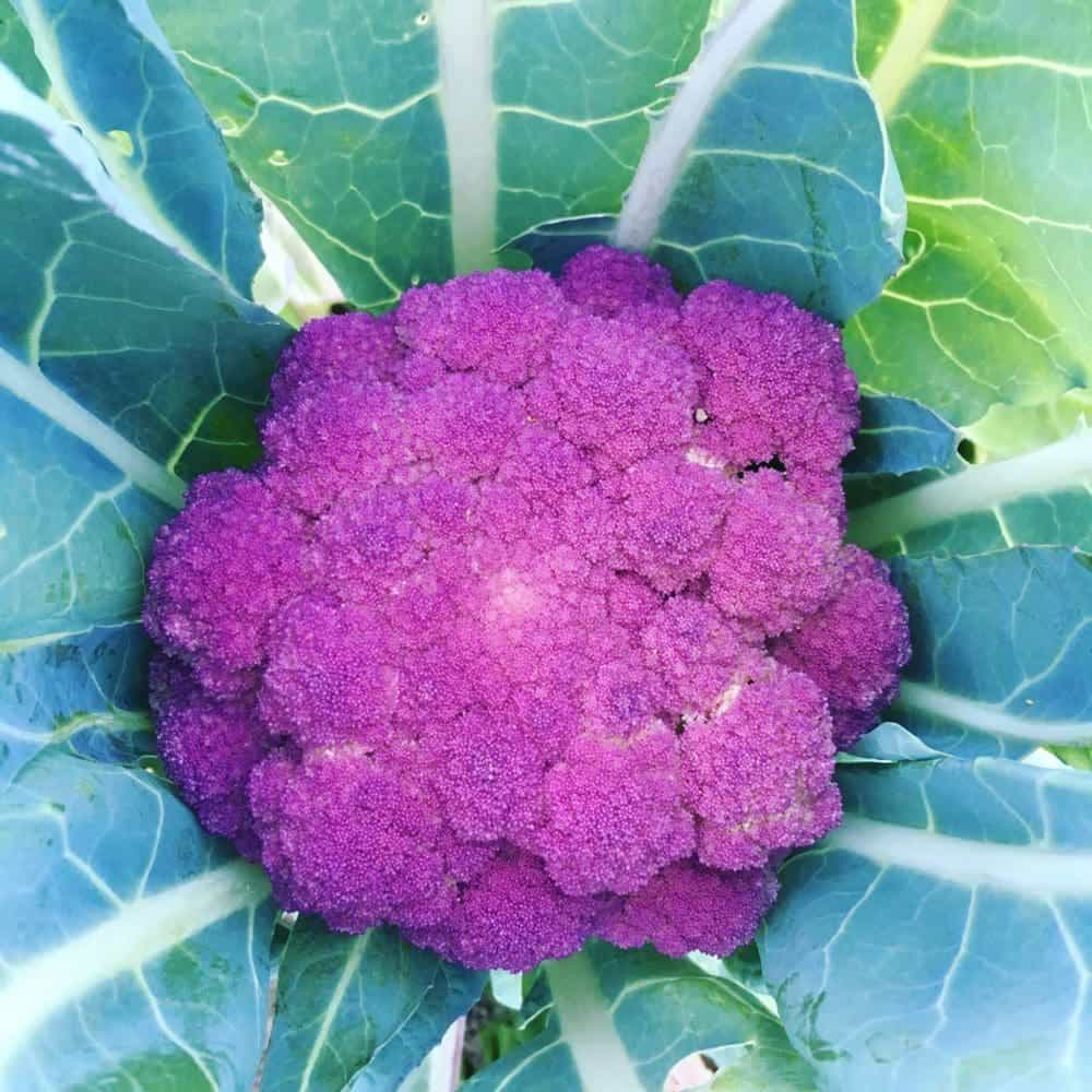 Heirloom Purple Cauliflower 'Purple of Sicily'