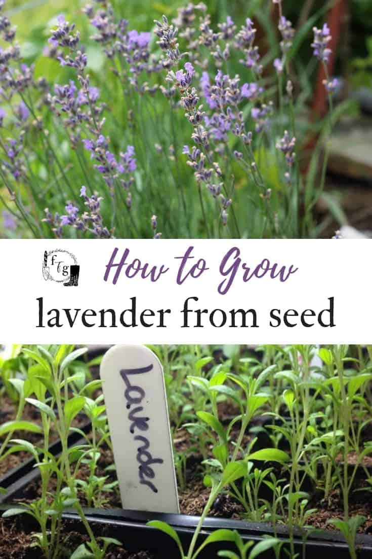 How To Grow Lavender From Seed Family Food Garden