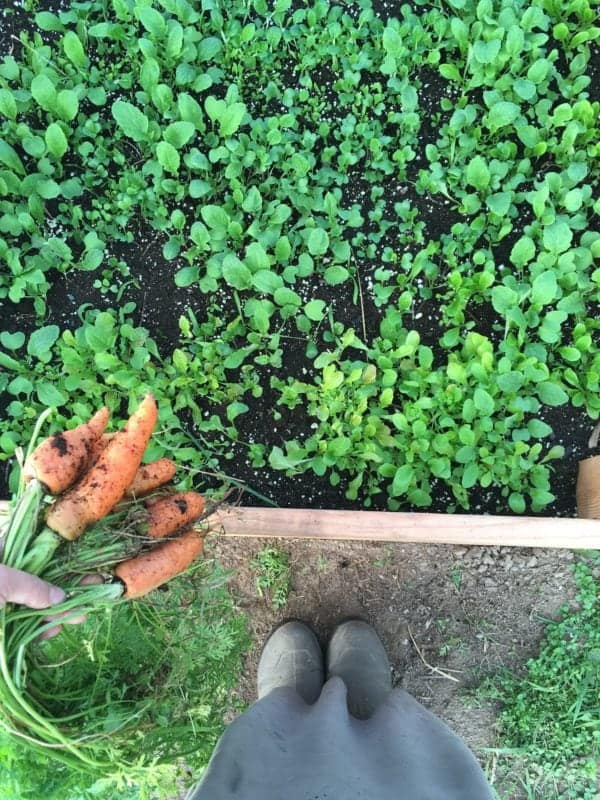 Plants to harvest in a winter vegetable garden