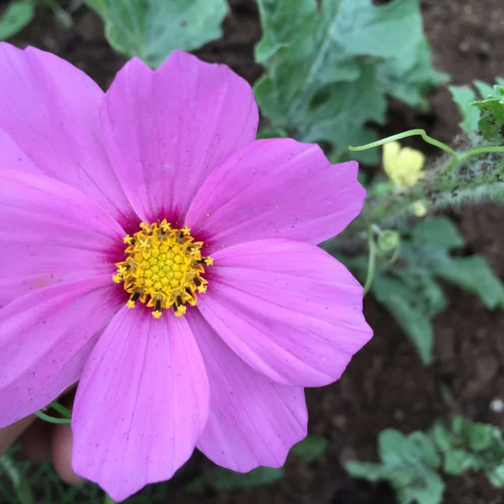 Cosmos flowers can self sow 'acting' as a perennial