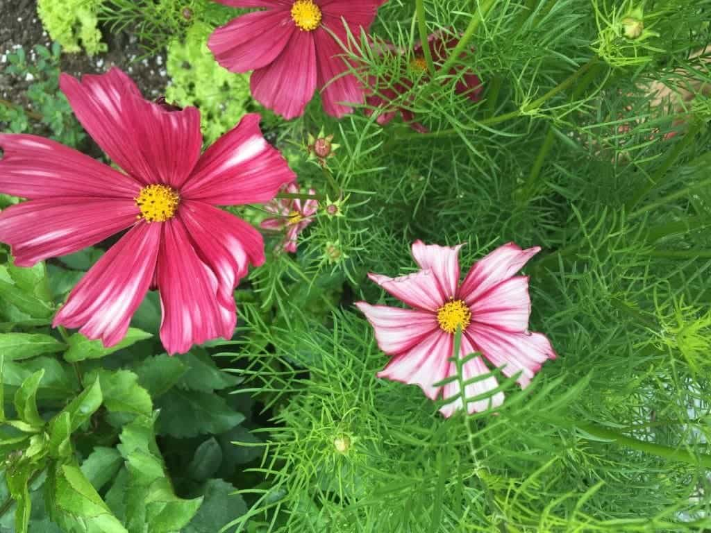 Growing cosmos flower