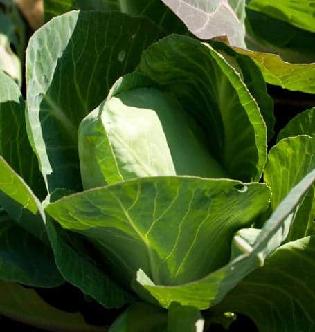 Early Jersey Wakefield cabbage forms loose tender leaves