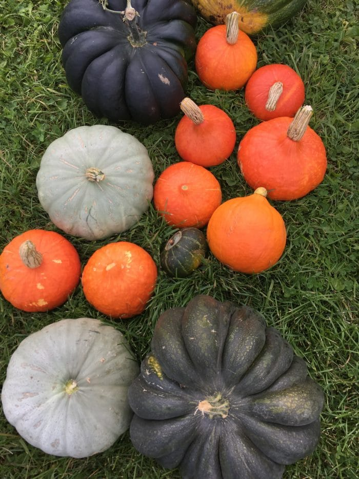 Heirloom Pumpkins and Kuri Squash