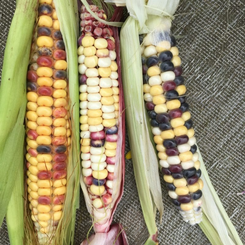 Painted Mountain Heirloom Corn
