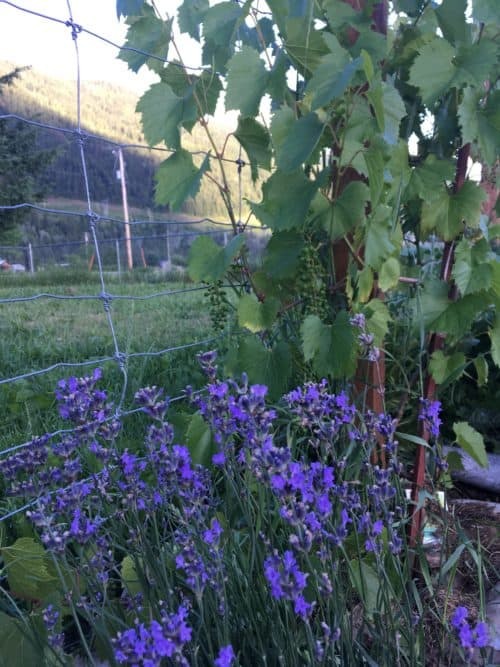 Lavender and grapes against the garden fence to make a productive use of garden edges