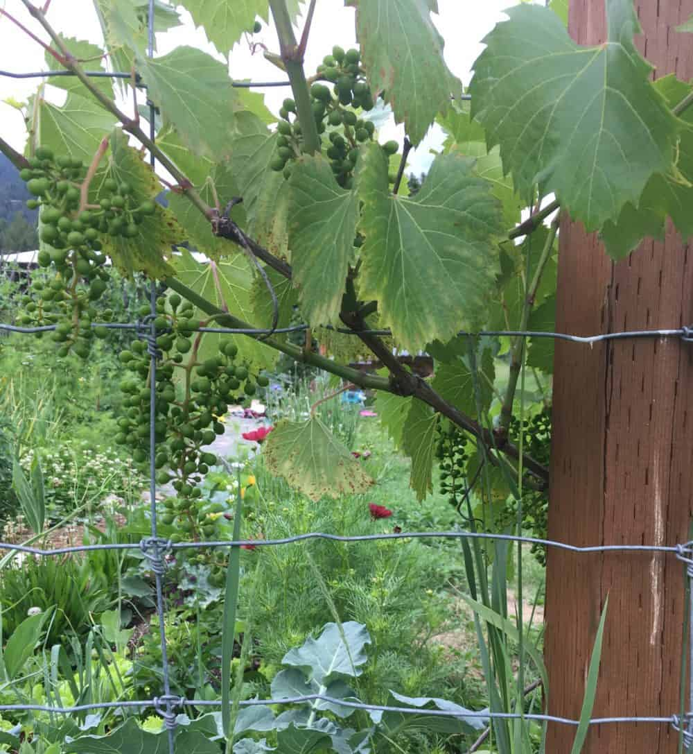 Grow grapes along your fenceline to increase home gardening yields