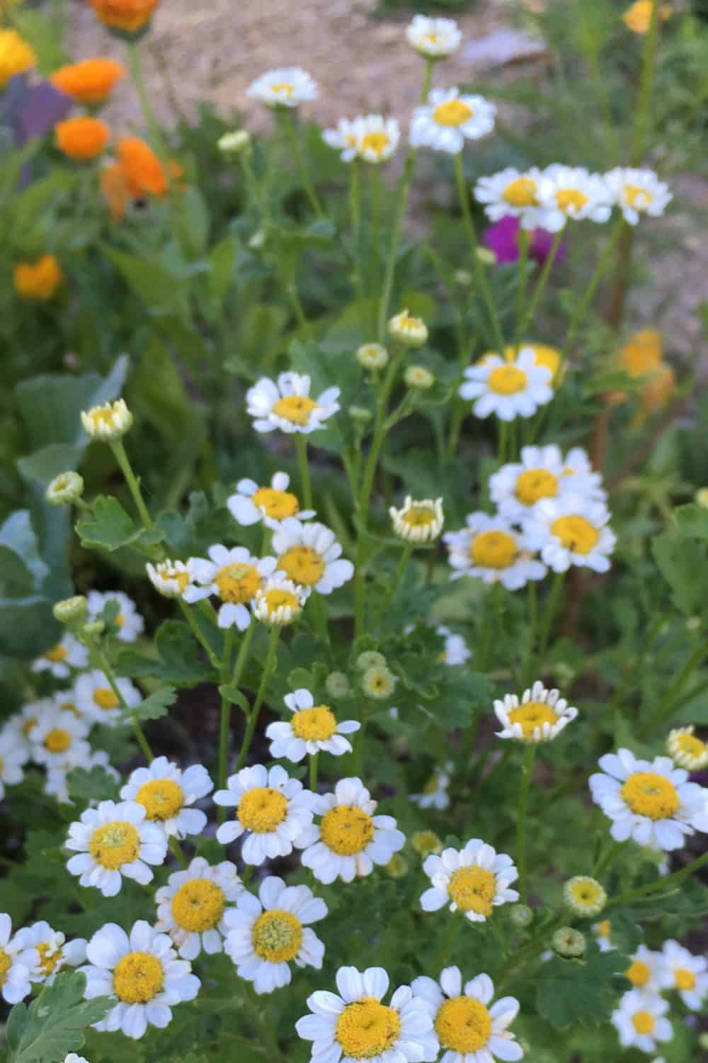 Feverfew for a medicinal herb shade garden