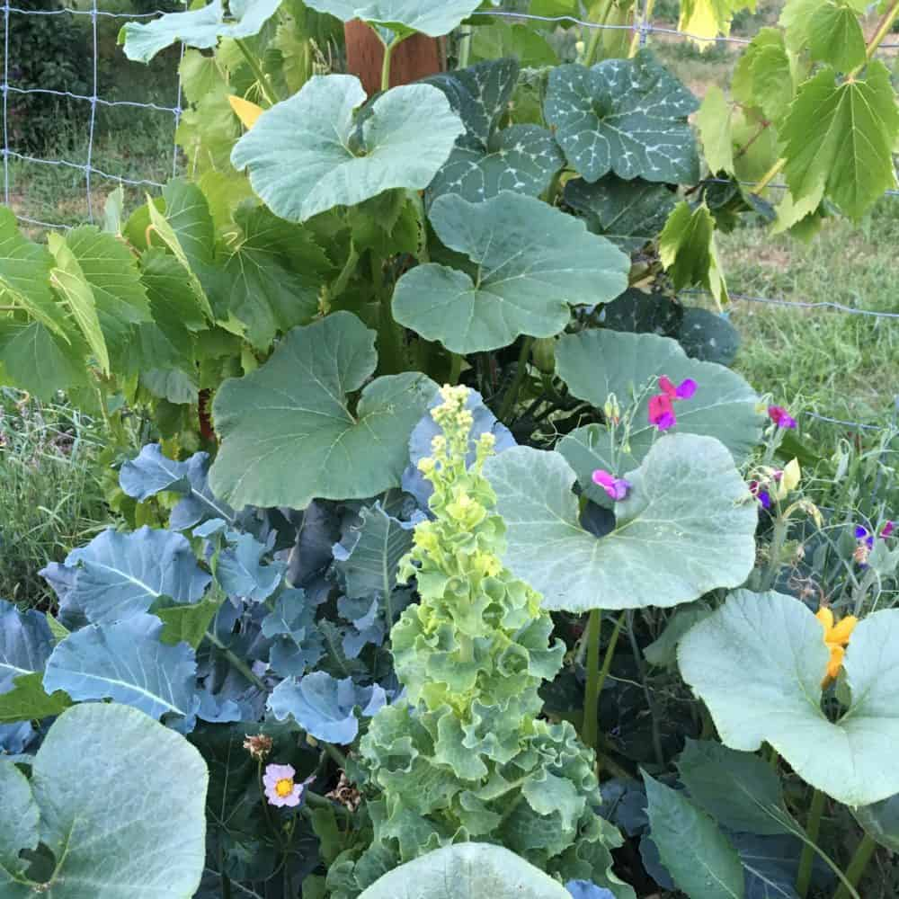 Climbing plants create shade for broccoli and lettuce
