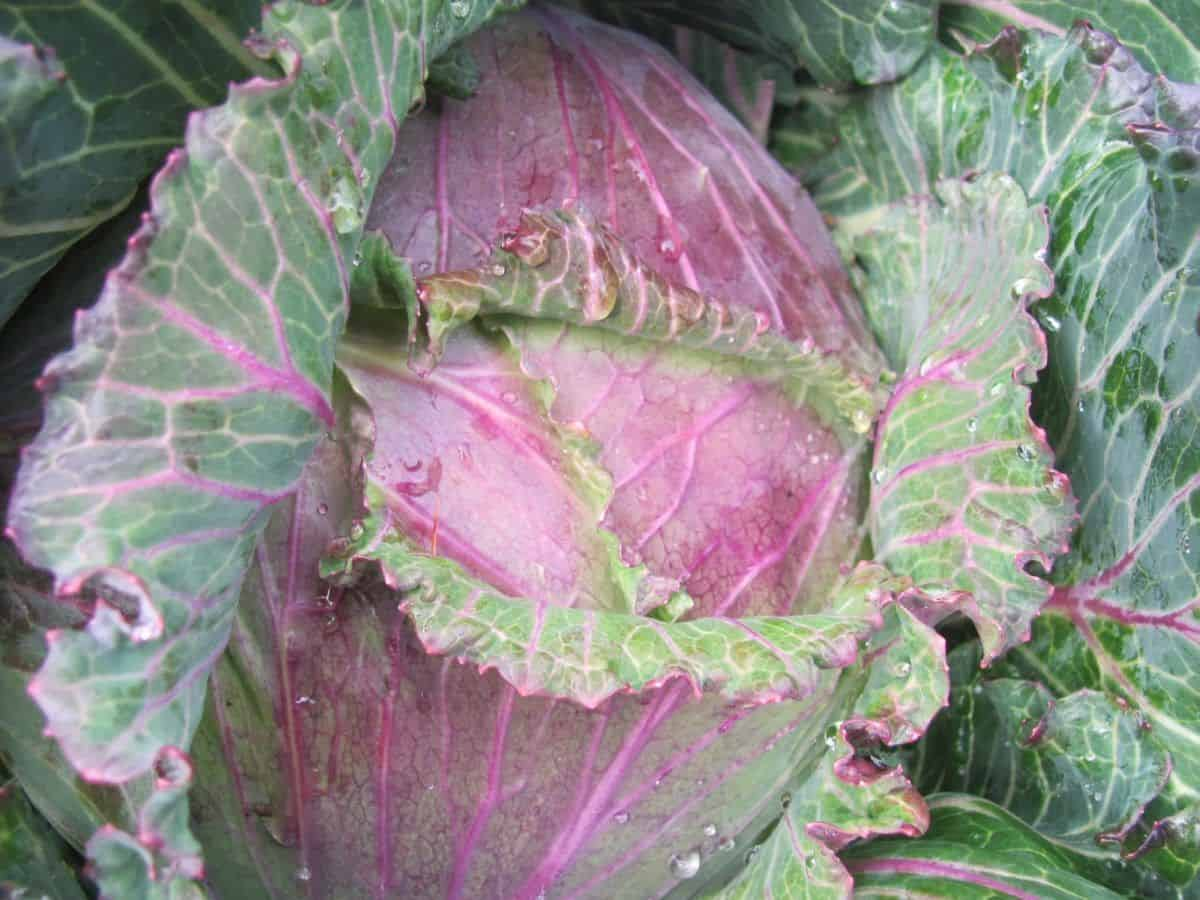 January King Cabbages is stunning in the Winter Vegetable Garden