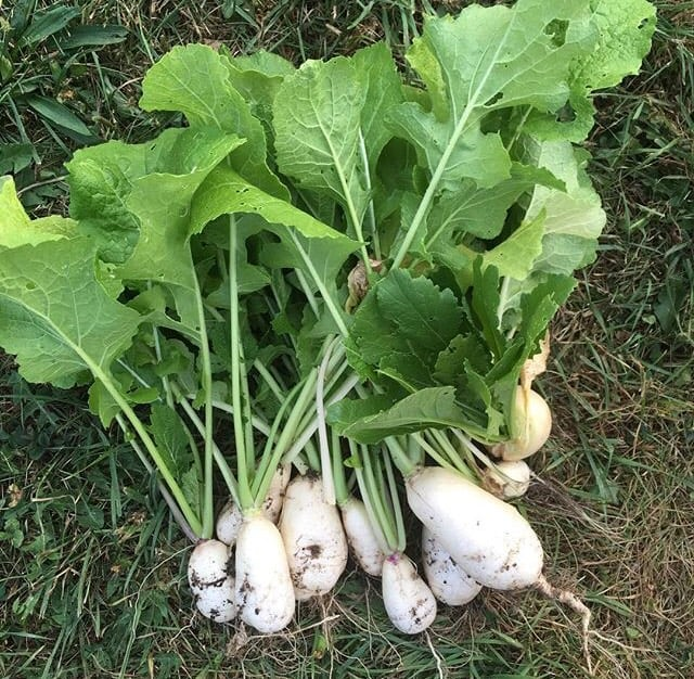 Navet des vertus marteau' heirloom turnip