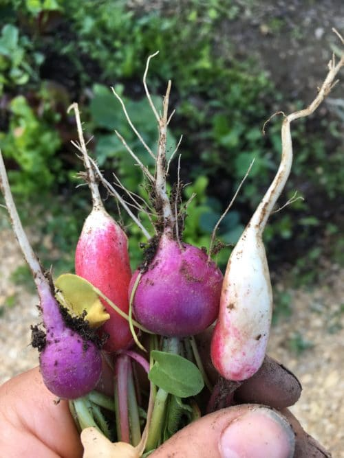 Radishes are perfect to plant in the spring garden