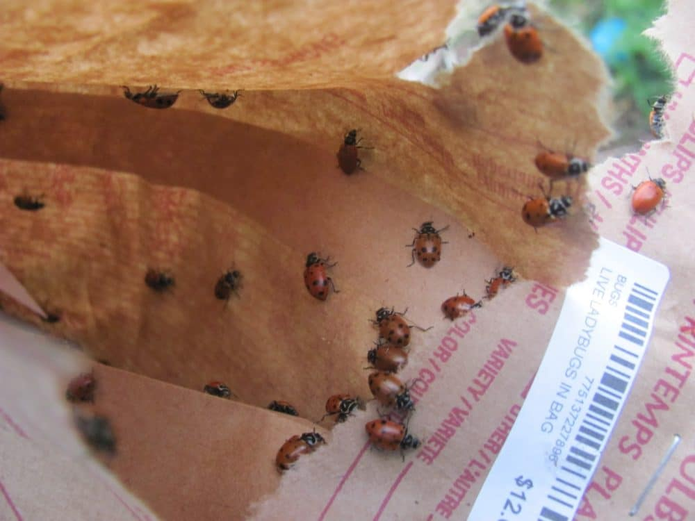Tips for releasing store bought ladybugs so they stay in your garden