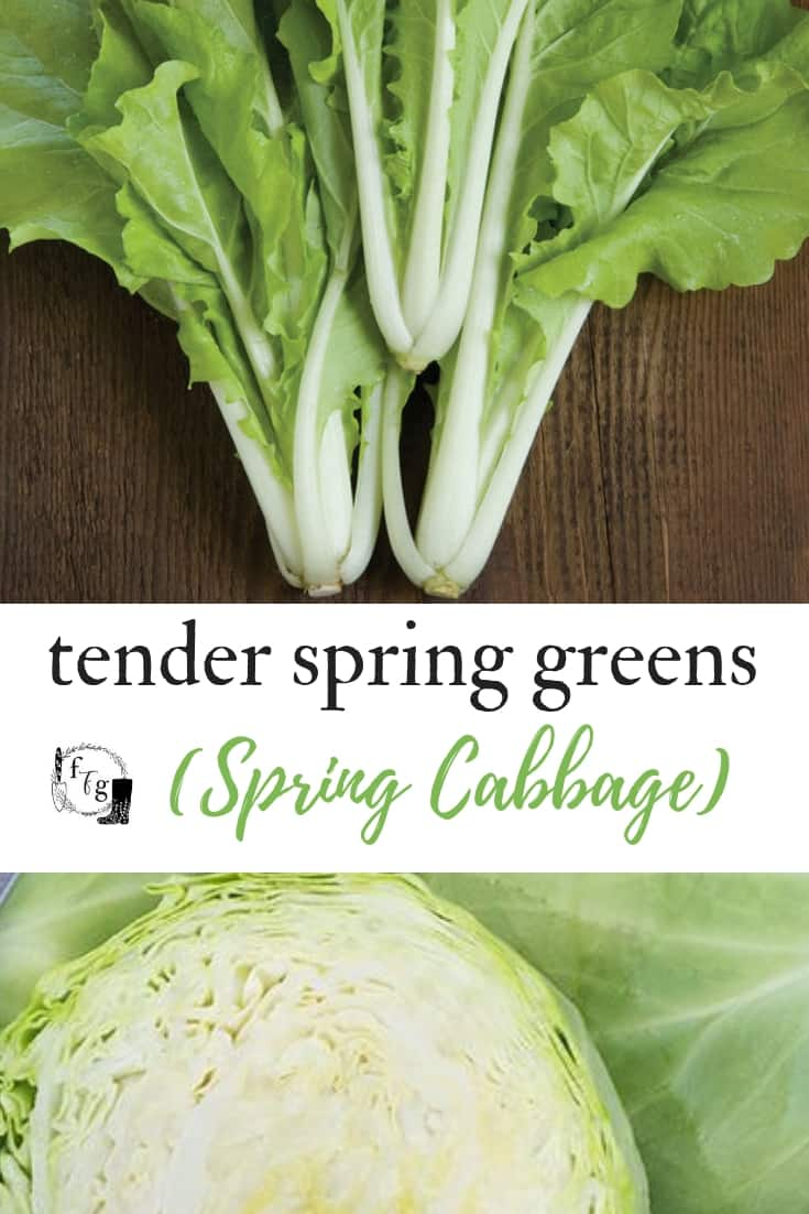 Enjoy tender spring greens (early loose cabbage leaves)