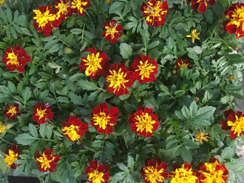 Grow French Marigolds in your home garden #gardening #flowergarden #gardenflowers #marigolds