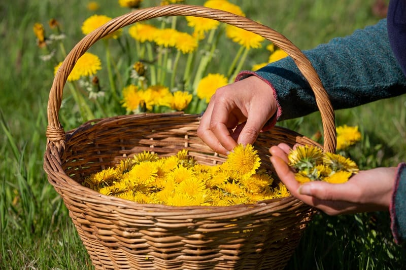 Dandelion Wine Preparation Tips
