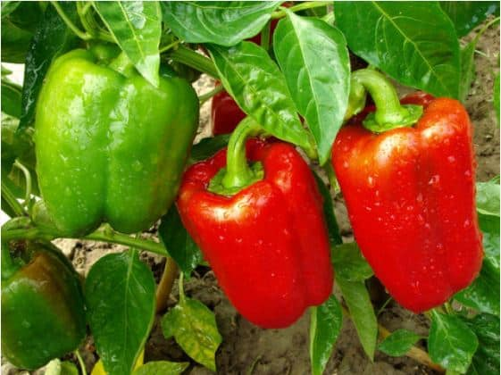 When to Start Pepper Seeds Indoors