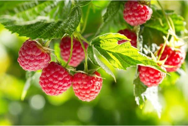 how to trim raspberry bushes