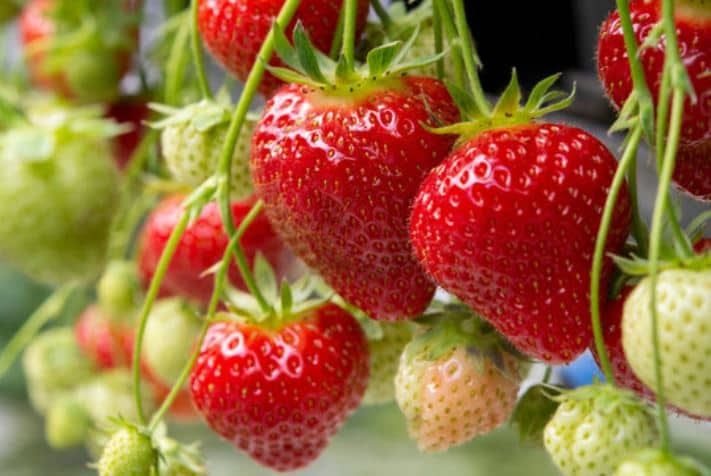 When to Plant Strawberries in Zone 7
