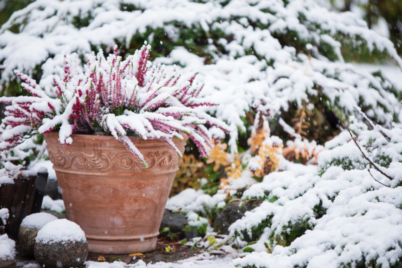 how do you save a plant which has wilted in cold weather